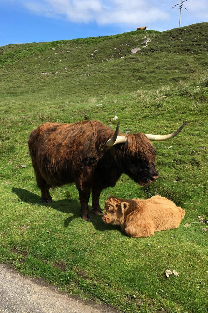 Highland Rinder